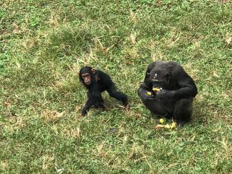 Chimps02