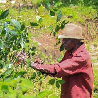 Paysan de Karangura récoltant son café arabica